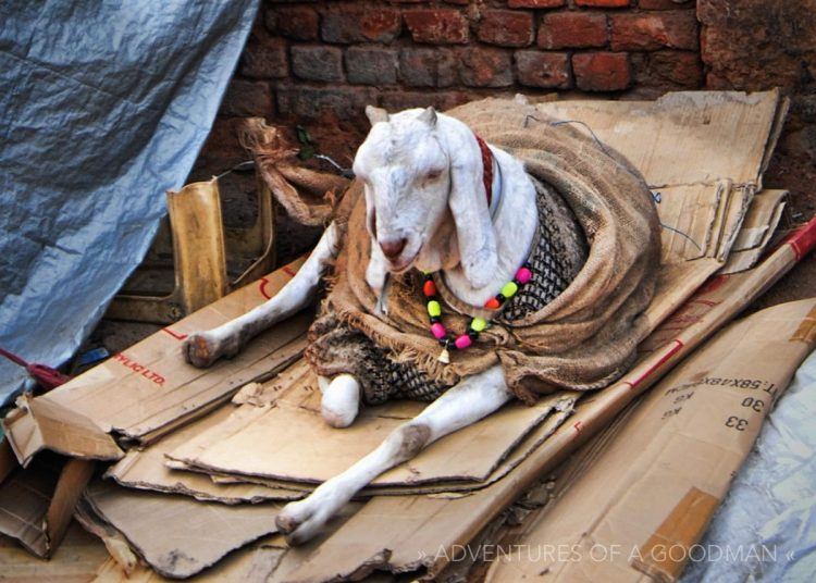A goat in the market outside the Red Fort in New Delhi, India