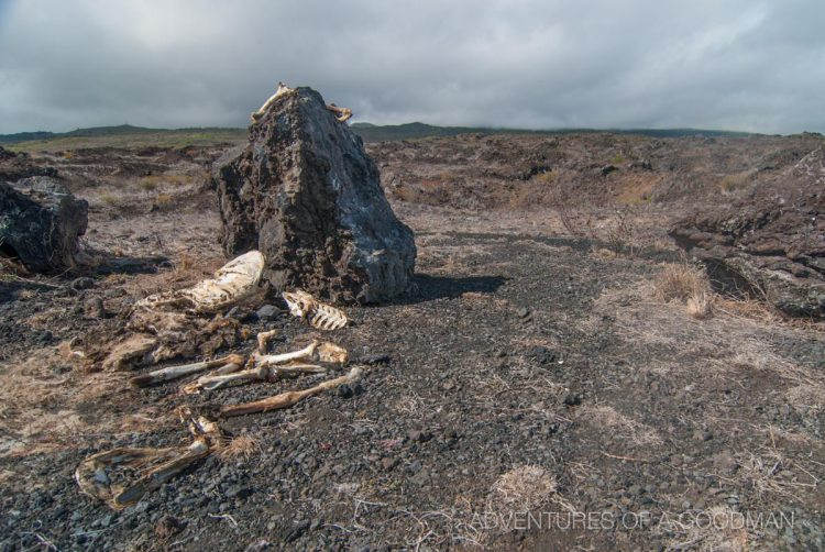 Bones and rocks are common sites when driving the southwestern highways on Maui, Hawaii