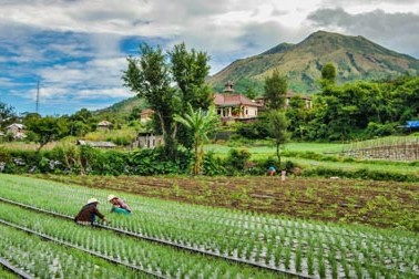Workers harvest onions in the fields below Mt. Batur in Bali, Indonesia