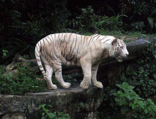 A white tiger at the Singapore Zoo