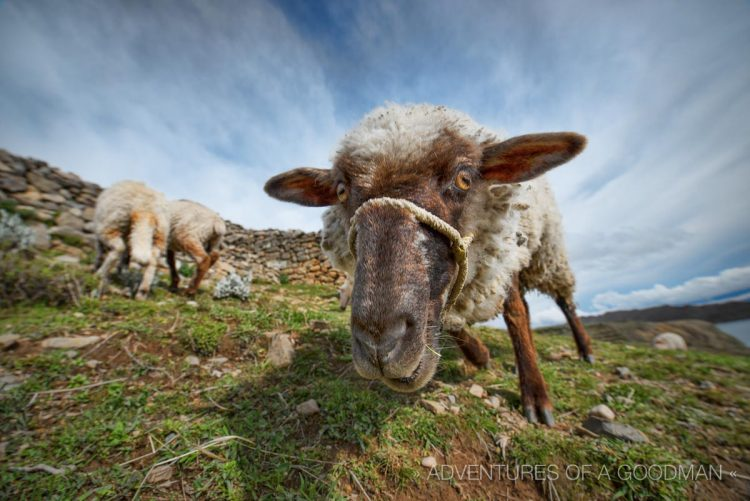A curious sheep on Isla del Sol