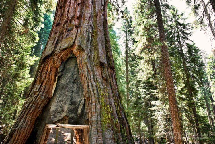 Once upon a time, you could drive through this tree in Yosemite - known locally as Tunnel Tree