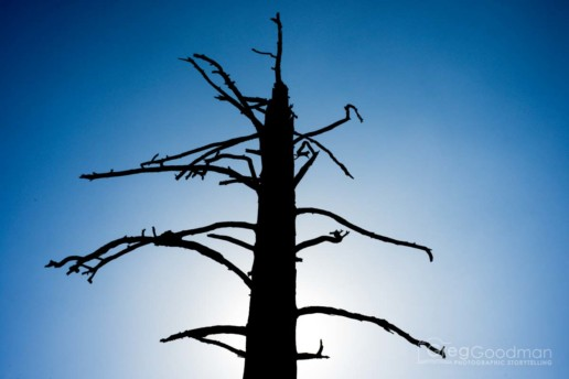 A dead tree in the August sun in Yosemite's Western Valley